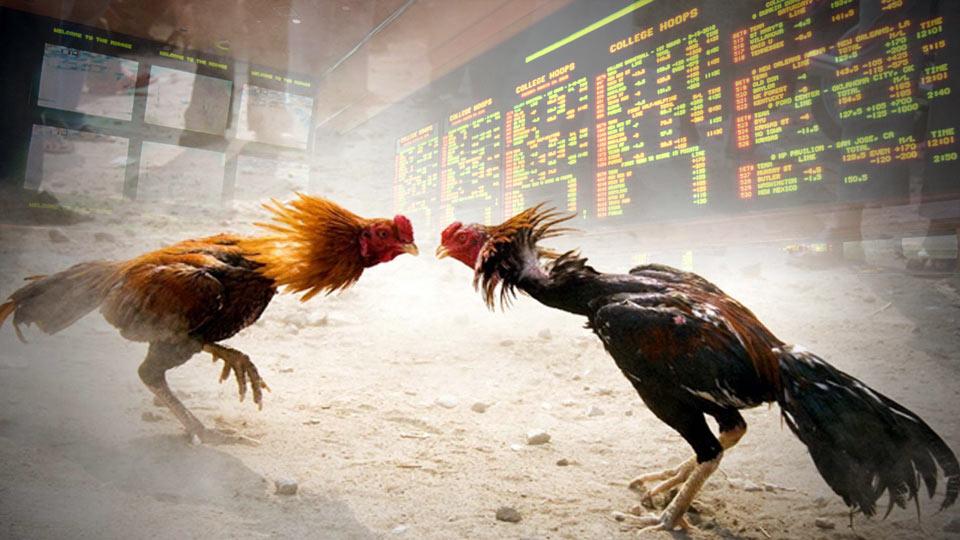 Bandar Sabung Ayam Online Terpercaya